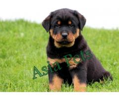 Rottweiler puppy  for sale in Chandigarh Best Price