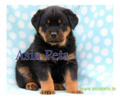 Rottweiler puppy  for sale in Dehradun Best Price