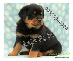 Rottweiler puppy  for sale in Delhi Best Price