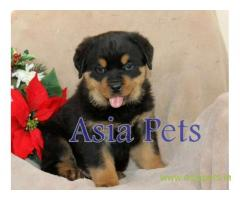Rottweiler puppy  for sale in Hyderabad Best Price
