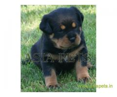 Rottweiler puppy  for sale in indore Best Price