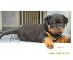 Rottweiler puppy  for sale in kochi Best Price