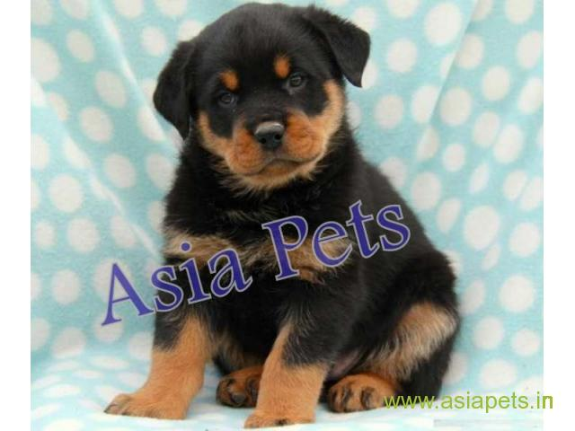 Rottweiler Puppy For Sale In Madurai Best Price