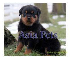 Rottweiler puppy  for sale in rajkot best price