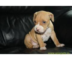 Pitbull puppy  for sale in Agra Best Price