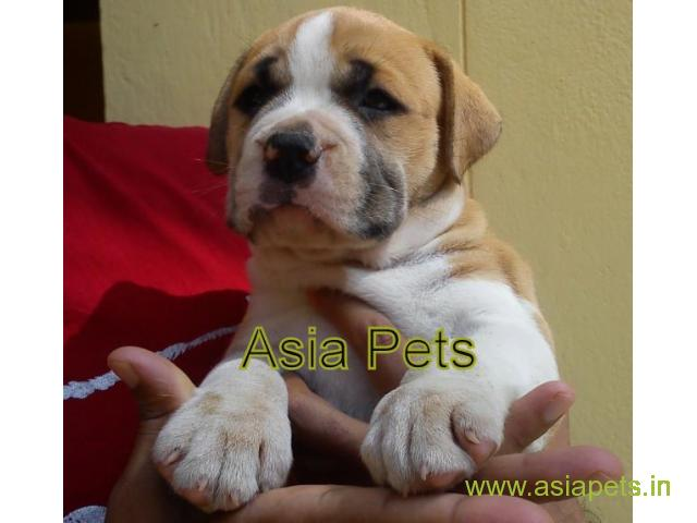 Pitbull puppy  for sale in Bangalore Best Price