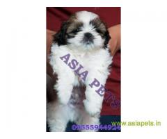 Shih Tzu puppy for sale in Bhopal at best price