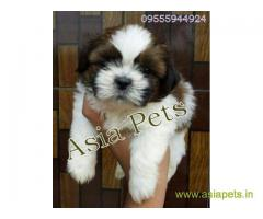 Shih Tzu puppy for sale in Chandigarh at best price