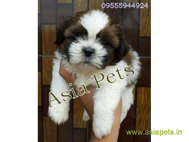 Shih Tzu puppy for sale in Nagpur at best price