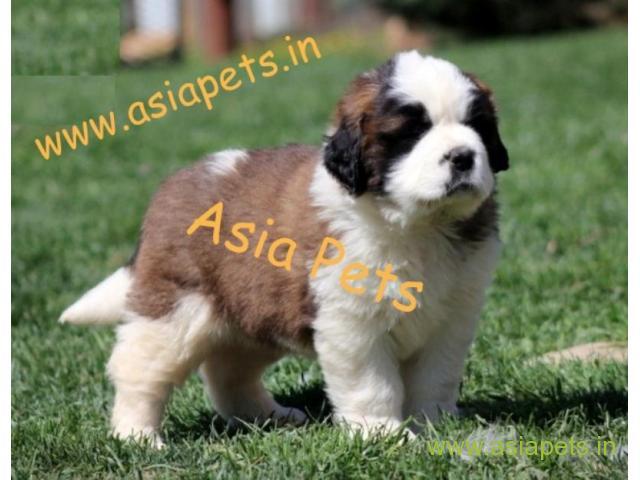 Shih Tzu puppy for sale in Nashik at best price