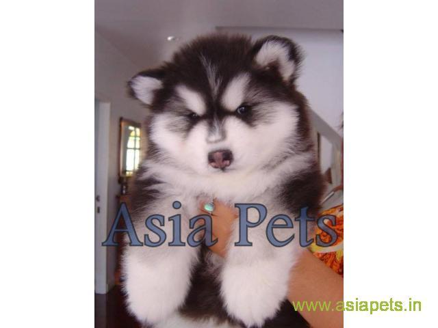 Alaskan Malamute puppy  for sale in Agra Best Price