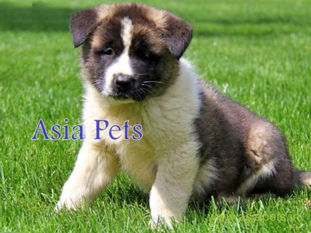 Akita puppy for sale in Bangalore at best price