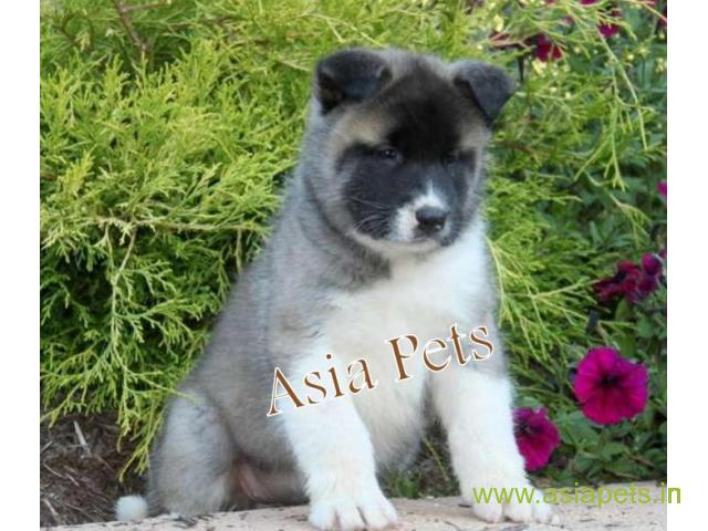 Akita puppy for sale in Coimbatore at best price