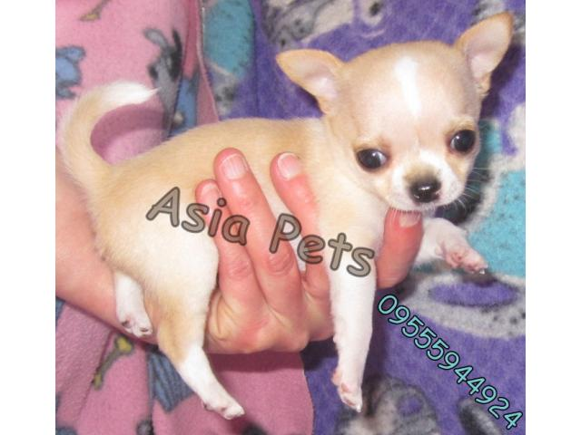 Chihuahua pups price in Bangalore, Chihuahua pups for sale in Bangalore