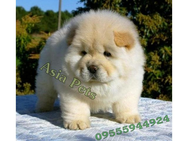 Chow Chow Pups Price In Bangalore Chow Chow Pups For Sale In Bangalore