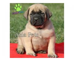 English Mastiff pups price in Bangalore, English Mastiff pups for sale in Bangalore
