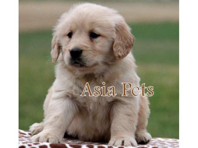 Golden retriever pups for sale in Bangalore, Golden retriever pups for sale in Bangalore