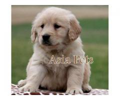 Golden retriever pups for sale in Bangalore, Golden retriever pups for sale in Bangalore