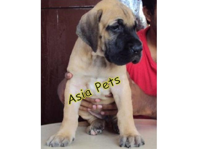 Great dane pups price in Bangalore, Great dane pups for sale in Bangalore