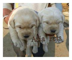 Labrador pups price in Bangalore, Labrador pups for sale in Bangalore