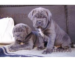 Neapolitan mastiff pups price in Bangalore, Neapolitan mastiff pups for sale in Bangalore
