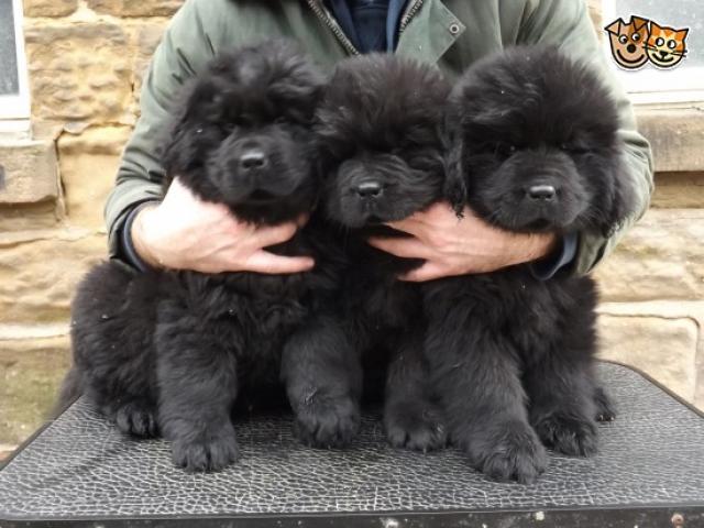 Newfoundland pups price in Bangalore, Newfoundland pups for sale in Bangalore