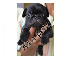 Pug pups price in Bangalore, Pug pups for sale in Bangalore