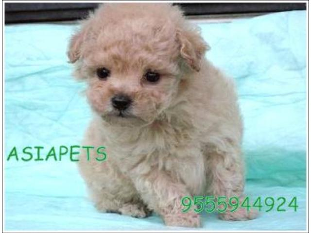 Poodle pups price in Bangalore, Poodle pups for sale in Bangalore