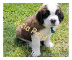 Saint bernard pups price in Bangalore, Saint bernard pups for sale in Bangalore