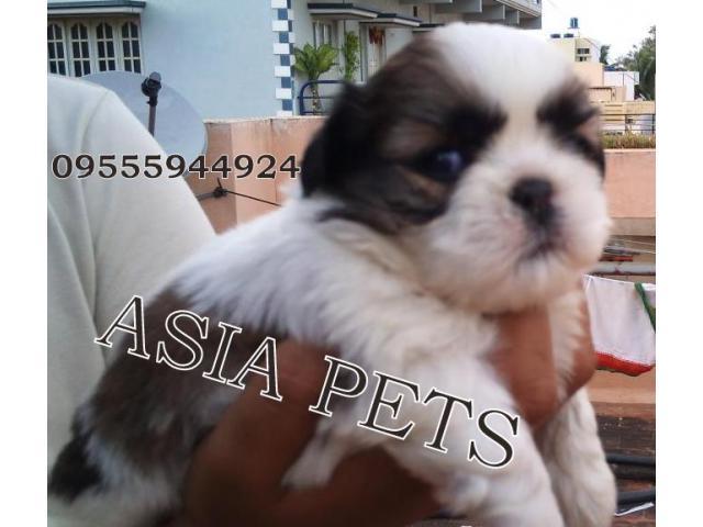 Shih tzu pups price in Bangalore, Shih tzu pups for sale in Bangalore