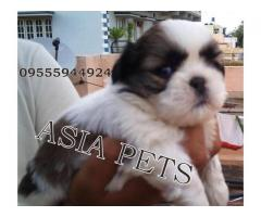 Shih tzu pups price in Bangalore, Shih tzu pups for sale in Bangalore