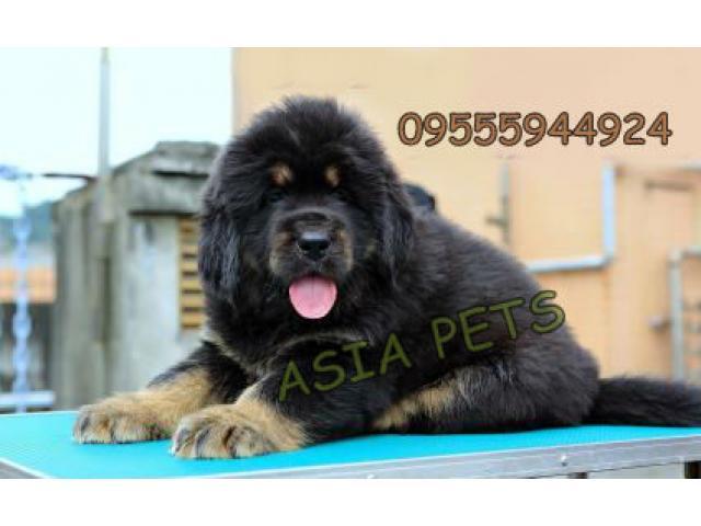 Tibetan mastiff pups price in Bangalore, Tibetan mastiff pups for sale in Bangalore