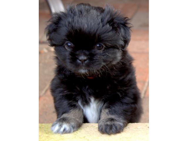 Tibetan spaniel pups price in Bangalore, Tibetan spaniel pups for sale in Bangalore