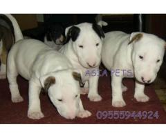 Bullterrier puppies price in Ahmedabad, Bullterrier puppies for sale in Ahmedabad