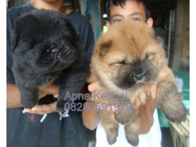 Chow Chow Puppies Price In Ahmedabad Chow Chow Puppies For Sale In