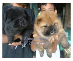 Chow chow puppies price in Ahmedabad, Chow chow puppies for sale in Ahmedabad