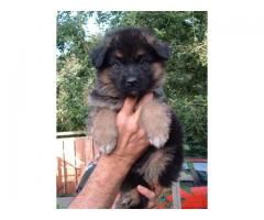 German Shepherd puppies price in Ahmedabad, German Shepherd puppies for sale in Ahmedabad