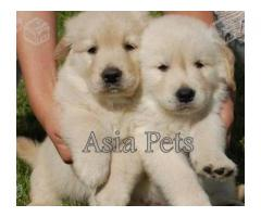 Golden retriever puppies for sale in Ahmedabad, Golden retriever puppies for sale in Ahmedabad