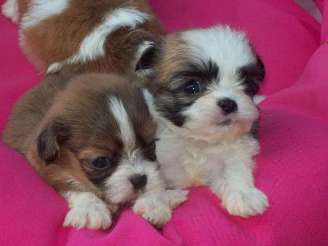 Lhasa apso puppies price in Ahmedabad, Lhasa apso puppies for sale in Ahmedabad