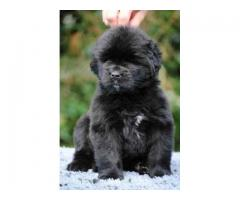 Newfoundland puppies price in Ahmedabad, Newfoundland puppies for sale in Ahmedabad