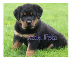 Rottweiler puppies price in Ahmedabad, Rottweiler puppies for sale in Ahmedabad