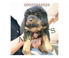 Tibetan mastiff puppies price in Ahmedabad, Tibetan mastiff puppies for sale in Ahmedabad