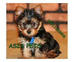 Yorkshire terrier puppies price in Ahmedabad, Yorkshire terrier puppies for sale in Ahmedabad
