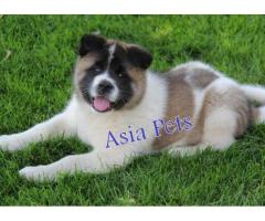 Akita puppies price in Bhopal , Akita puppies for sale in Bhopal