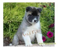 Akita puppy for sale in Lucknow at best price