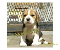 Beagle puppy  for sale in Ahmedabad Best Price