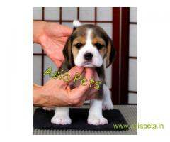 Beagle puppy  for sale in Bhubaneswar Best Price