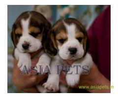 Beagle puppy  for sale in Ghaziabad Best Price