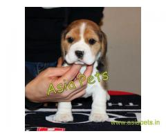 Beagle puppy  for sale in Hyderabad Best Price