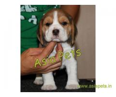 Beagle puppy  for sale in Ranchi Best Price